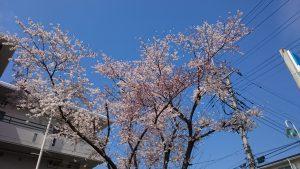 入間市の桜